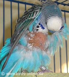 Smulsul penelor la papagali