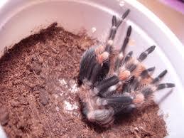 Naprlire tarantula