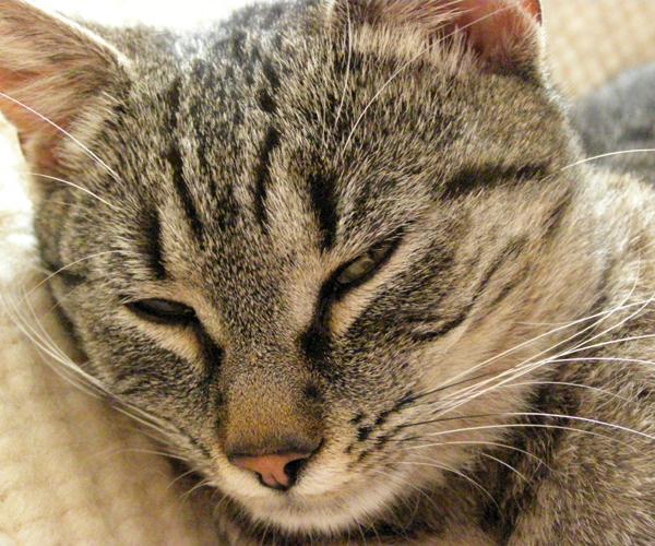 Pisica animal de companie
