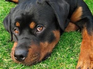 caine Rottweiler