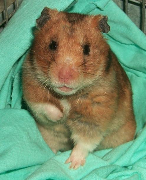 hamster bolnav