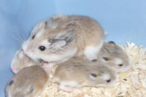 Hamsteri Roborovski