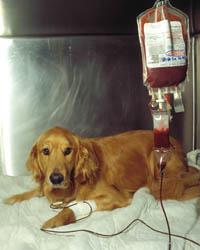 transfusion_dog