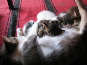 pisica alaptand