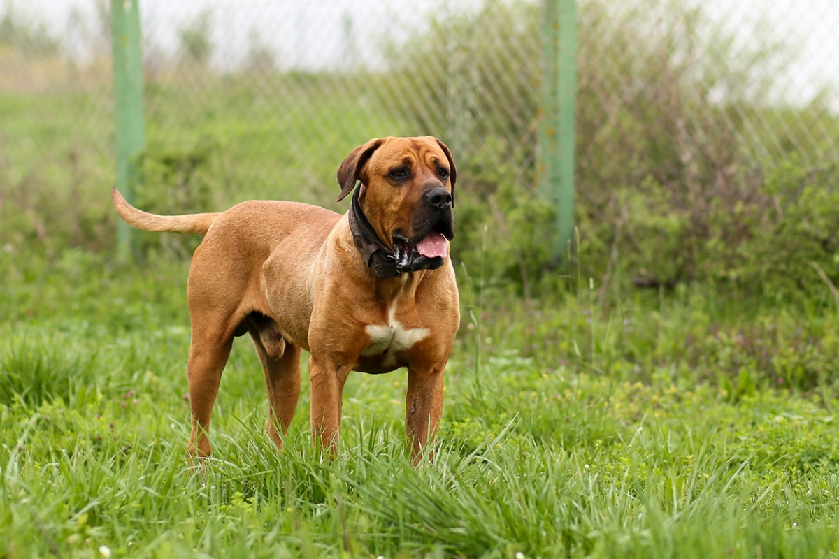 Tosa Dog Breed