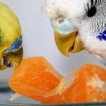 Sfaturi cu privire la hranirea perusilor