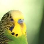 Informatii despre santatea perusilor si a papagalilor