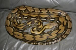 Python reticulatus - Pitonul reticulat