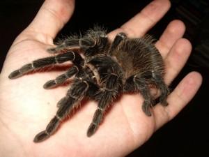 Manuire tarantula