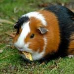 Porcusorul de Guineea – Animal de companie potrivit pentru tine