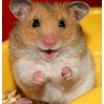 Hamsterul ca animal de companie