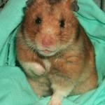 Cum vezi daca hamsterul este bolnav?