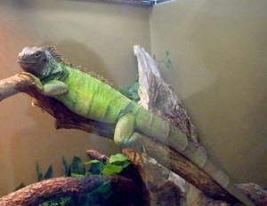 Iguana in terariu