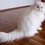 Despre pisica persana: pasi simpli pentru o pisica santoasa