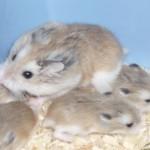 Generalitati despre hamsteri si diferitele rase de hamster