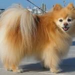 Caine Pomeranian – Informatii si descriere