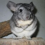 Chinchilla ca animal de companie