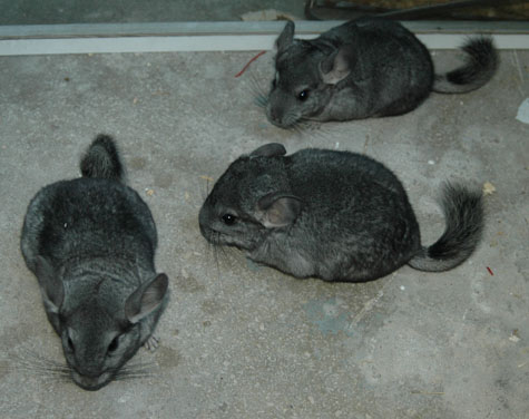 pui chinchilla