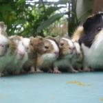 Reproducerea porcusorilor de Guineea