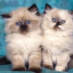 Poza cu doua pisici Birmaneze