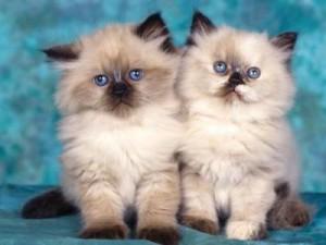 doua pisicute Birmaneze