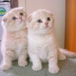 Poza cu doua pisicute din rasa Scottish Fold (cu urechi pliate)