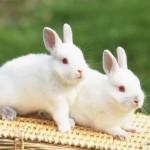 Despre iepuri
