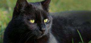 pisica neagra