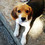 Tot ce trebuie sa stii despre rasa Beagle