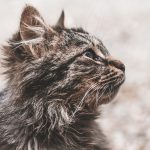 Cum curatam urechile pisicilor?